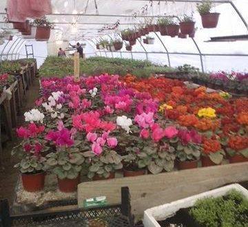 Lijepa priča na dan kada je sve u znaku cvijeća:  Edina Kusić pokrenula vlastitu djelatnost uzgoja cvijeća