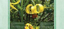 Na Ponijerima procvjetali bosanski ljiljani (Lilium bosniacum), rijetka i posebna vrsta cvijeta